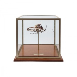 glass_box_beetle_display