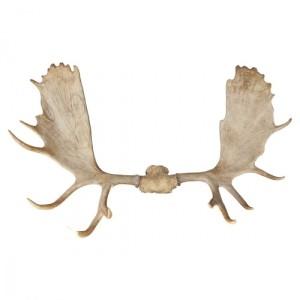 moose_antlers